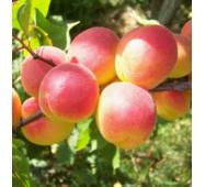 Саджанці абрикоси сорту Червонощокий