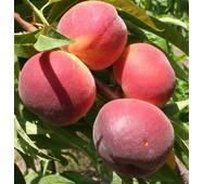 Саджанці персика сорт Саммер Рич