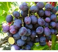 Саджанці винограду сорт Армани