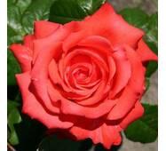 Саджанці троянди Holstein Perle (Перлина Гольштейна)