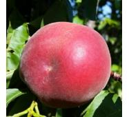 Саджанці персика сорт Сенсейшн