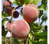 Саджанці персика сорт Дніпровський