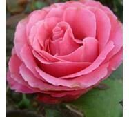 Троянда чайно-гібридна Монтесума (Montezuma)