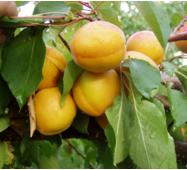 Саджанці абрикоси сорт Сатисфекшн