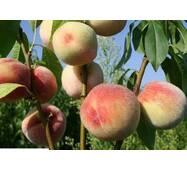 Саджанці персика сорту Білий лебідь