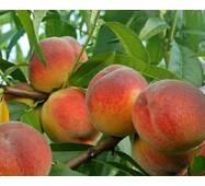 Саджанці персика сорт Флеминг Фюри
