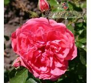 Саджанці троянд сорт Rosarium Uetersen (Розарій Юстерсейн)