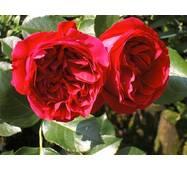 Троянда паркова Ред Їдений Роуз