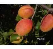 Саджанці абрикоси сорт Масис