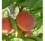 Саджанці персика сорт Санрайз