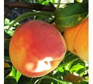 Саджанці персика сорт Редхейвен, 2 літні