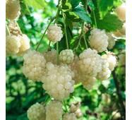 Ожина Polar Berry (ІОЖ-35)
