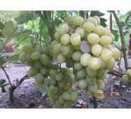 Виноград Хип Хоп (ІВН-108)