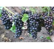 Виноград Чорный доктор   (ІВН-111)