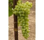 Виноград Елизавета   (ІВН-109)