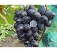 Виноград Краса Балок (ІВН-104)