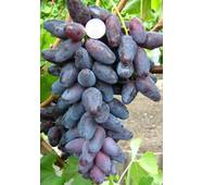 Виноград Ромео  (ІВН-107)