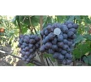 Виноград Аюта (ІВН-114)