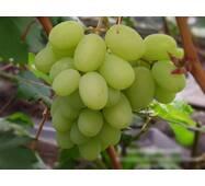 Виноград Богатяновский  (ІВН-100)
