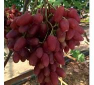 Виноград Дубовский розовый   (ІВН-102)