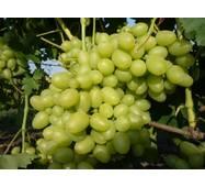 Виноград Дария   (ІВН-103)