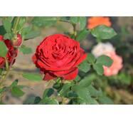 Роза чайно-гибридная Ботеро