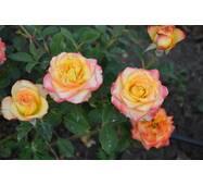 Роза чайно-гибридная Высшей свет (ІТЯ-407)