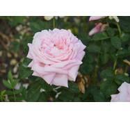 Роза чайно-гибридная Херитейдж (ІТЯ-305)
