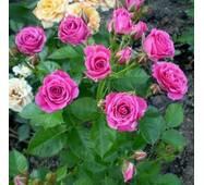 Роза спрей Пурпуровый (ІТЯ-295)