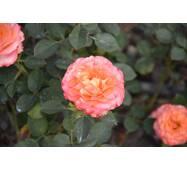 Роза парковая Вестерленд (ІТЯ-269)