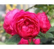 Роза чайно-гибридная Аскот (ІТЯ-268)