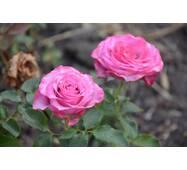 Роза чайно-гибридная Парадиз (ІТЯ-78)