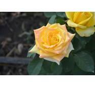 Троянда чайно-гібридна Глорія Дей (ІТЯ-72)
