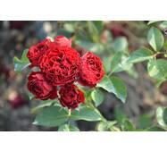 Роза полиантовая Кордула (ІТЯ-152)