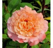 Роза английская Августа Луиза (ІТЯ-30)