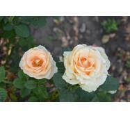 Роза чайно-гибридная Талея (ІТЯ-242)