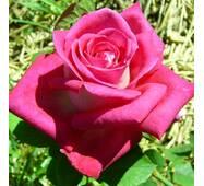 Роза чайно-гибридная Акапелла (ІТЯ-265)