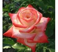 Роза чайно-гибридная Императрица Фарах (ІТЯ-109)