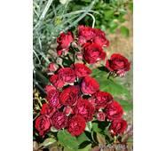 Роза спрей Ред Сенсейшн (ІТЯ-298)