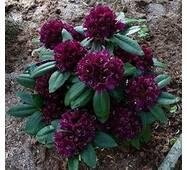 Рододендрон гібридний Polarnacht 2 річний, Рододендрон гибридный Поларнах, Rhododendron Hybride Polarnacht