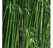 Насіння морозостійкого бамбука Plyllostachys edulis mosso