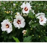 Гібіскус сірійський білий (ОКН-2340) за 10-12 л