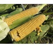 Кукуруза сахарная 1801 F1 (ЕКК-59-А) за 200 нас.