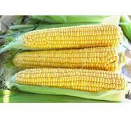 Кукуруза сахарная Страйк F1 (ЕКК-61-А) за 200 нас.