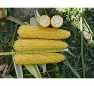 Кукуруза сахарная Добрыня F1 (ЕКК-60-А) за 200 нас.