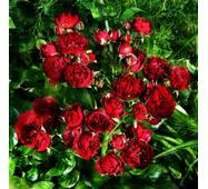 Троянда ґрунтопокривна Ред Вельвет (ІТЯ-238)