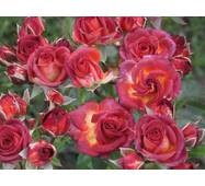 Троянда Спрей Браун Шугар (ІТЯ-423)