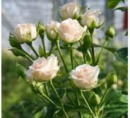 Троянда Спрей Яна (ІТЯ-422)