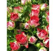 Троянда Спрей Рубі Стар (ІТЯ-424)