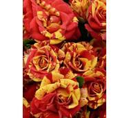 Троянда Спрей Оранж Флеш (ІТЯ-425)